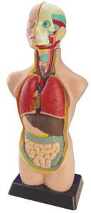 Set anatomía con órganos
