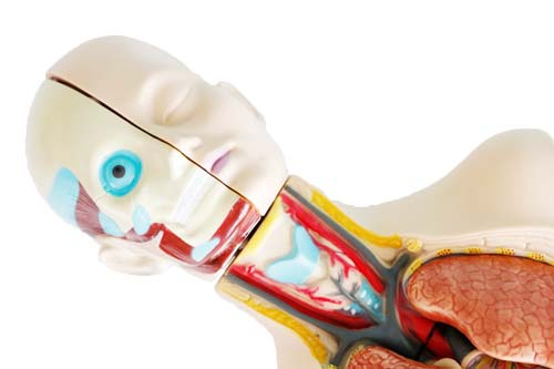 Set de anatomía  con órganos desmontable detalle 3