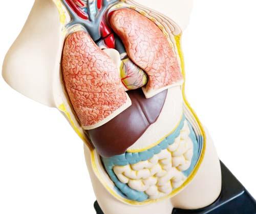 Set de anatomía  con órganos desmontable detalle 4