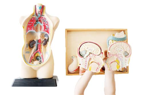 Set de anatomía  con órganos desmontable detalle 5