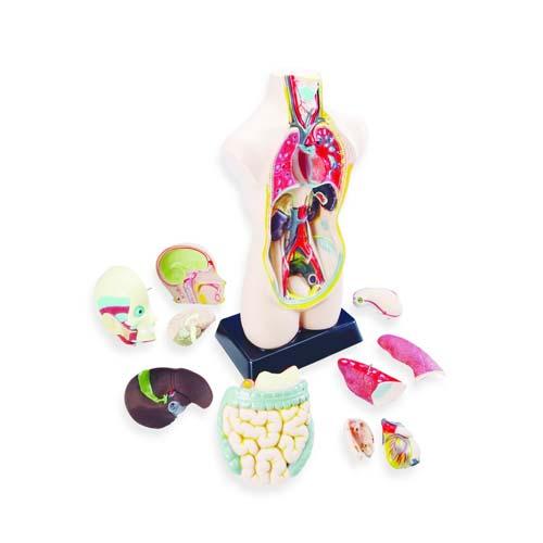 Set de anatomía  con órganos desmontable detalle 7
