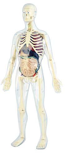 Anatomía humana detalle 2
