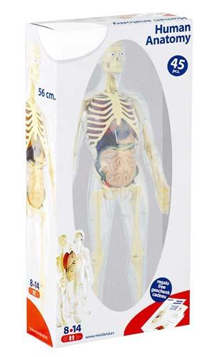 Anatomía humana detalle 3