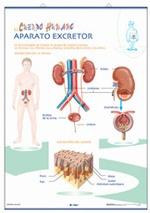 Lámina Aparato digestivo / Excretor, revés