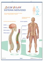 Lámina El sistema nervioso - Los músculos