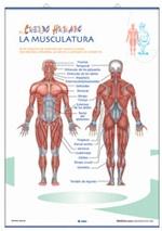 Lámina El sistema nervioso - Los músculos, revés