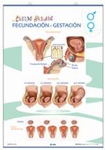 Lámina Órganos reproductores / Fecundación y gestación