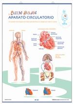 Lámina Aparato circulatorio / Respiratorio