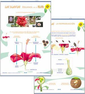 La flor, órganos / reproducción