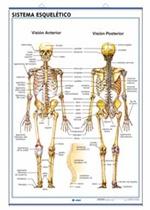 Lámina Sistema esquelético - El cráneo
