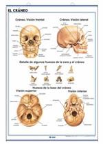 Lámina Sistema esquelético - El cráneo, revés
