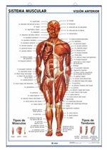 Lámina sistema muscular ventral - Dorsal