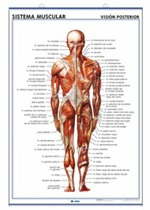 Lámina sistema muscular ventral - Dorsal, revés