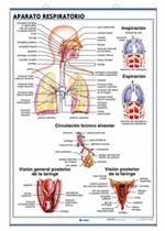 Lámina Aparato circulatorio - Respiratorio, revés