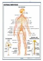 Lámina Sistema nervioso / El cerebro