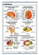 Lámina Sistema nervioso / El cerabro, revés