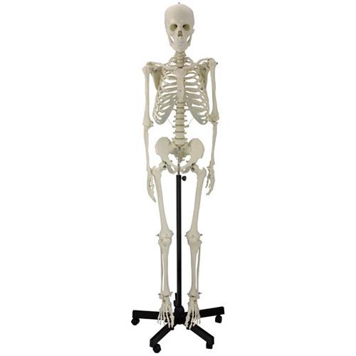Esqueleto humano 170 cm