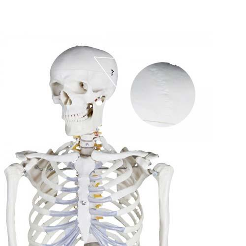 Esqueleto humano Extra 170 cm detalle 2