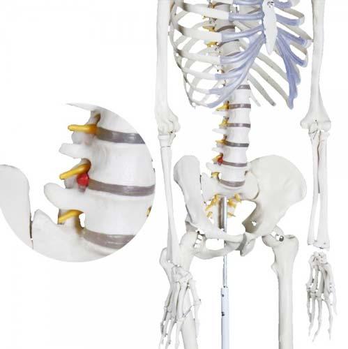 Esqueleto humano Extra 170 cm detalle 3
