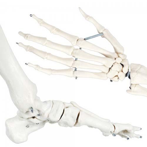 Esqueleto humano Extra 170 cm detalle 4