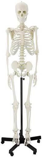 Esqueleto humano Extra 170 cm
